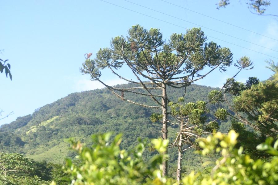 Araucaria em São Bento do Sapucaí