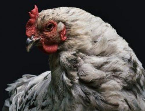 A história da galinha